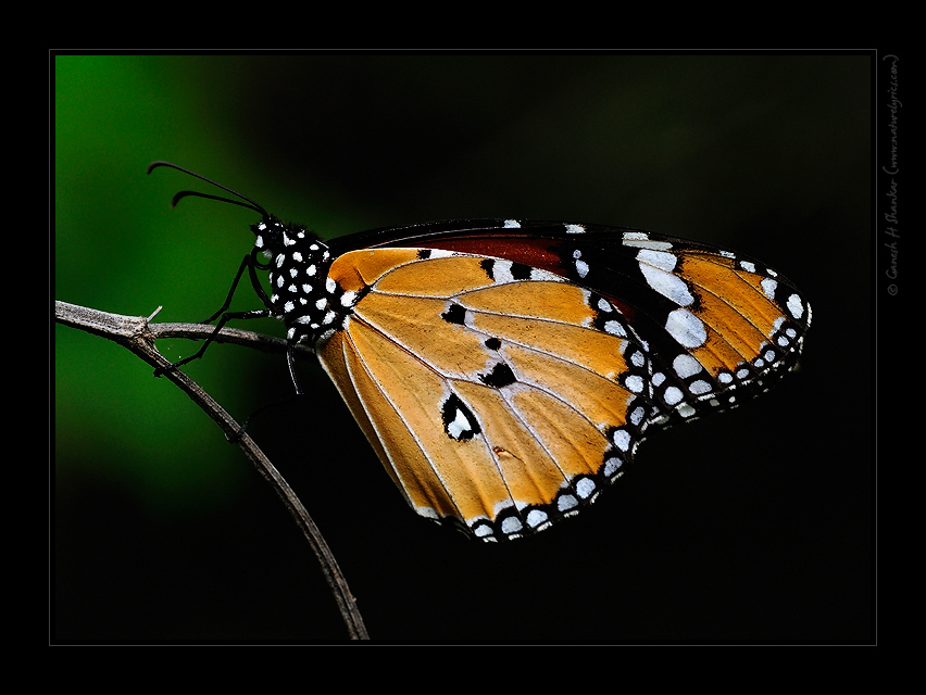 Plain Tiger Butterfly | Fine Art | Creative & Artistic Nature Photography | Copyright © 1993-2016 Ganesh H. Shankar