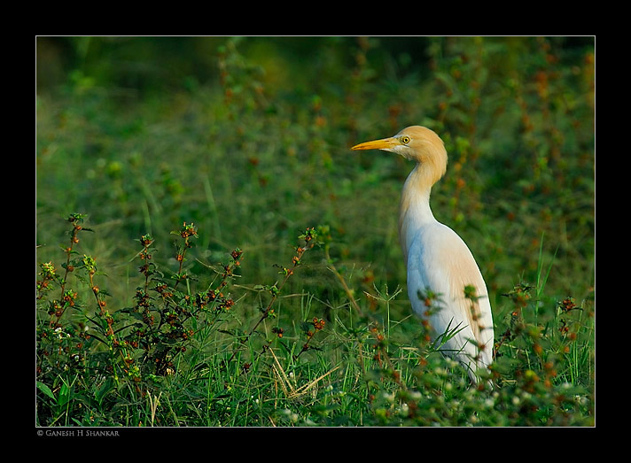 Cattle Egret | Fine Art | Creative & Artistic Nature Photography | Copyright © 1993-2017 Ganesh H. Shankar