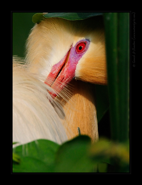 Cattle Egret in Plummage, Ranganthittu Bird Sanctuary, Southern India. | Fine Art | Creative & Artistic Nature Photography | Copyright © 1993-2017 Ganesh H. Shankar