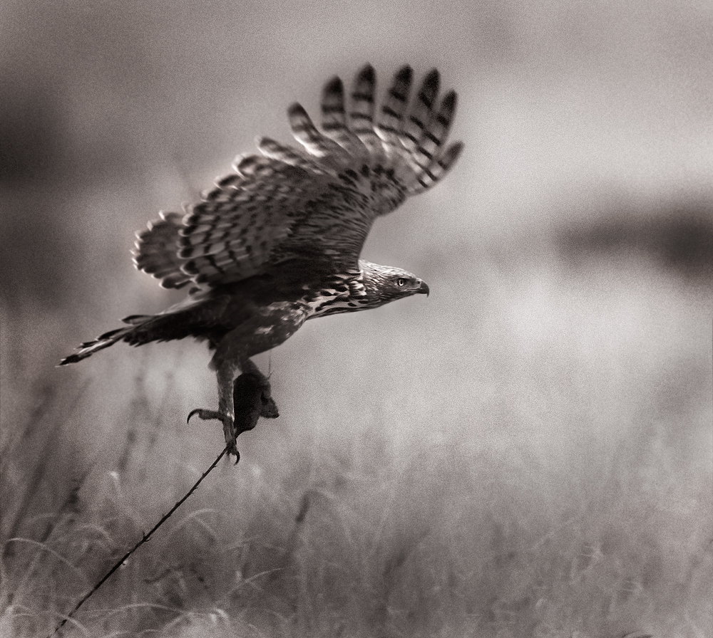 Changeable Hawk Eagle  | Fine Art | Creative & Artistic Nature Photography | Copyright © 1993-2017 Ganesh H. Shankar