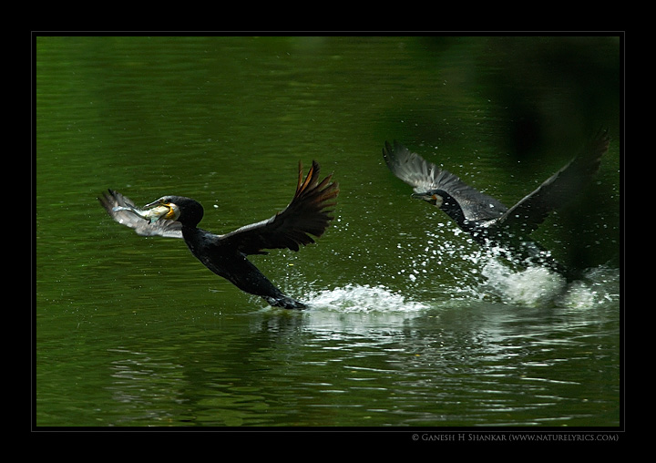 Large Cormorants Chase | Fine Art | Creative & Artistic Nature Photography | Copyright © 1993-2017 Ganesh H. Shankar