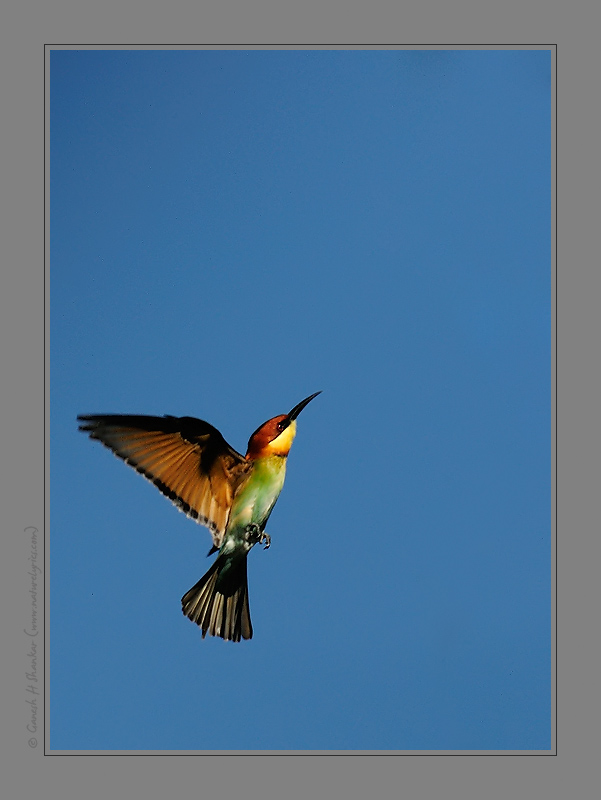 Chestnut Headed Bee Eater | Fine Art | Creative & Artistic Nature Photography | Copyright © 1993-2017 Ganesh H. Shankar