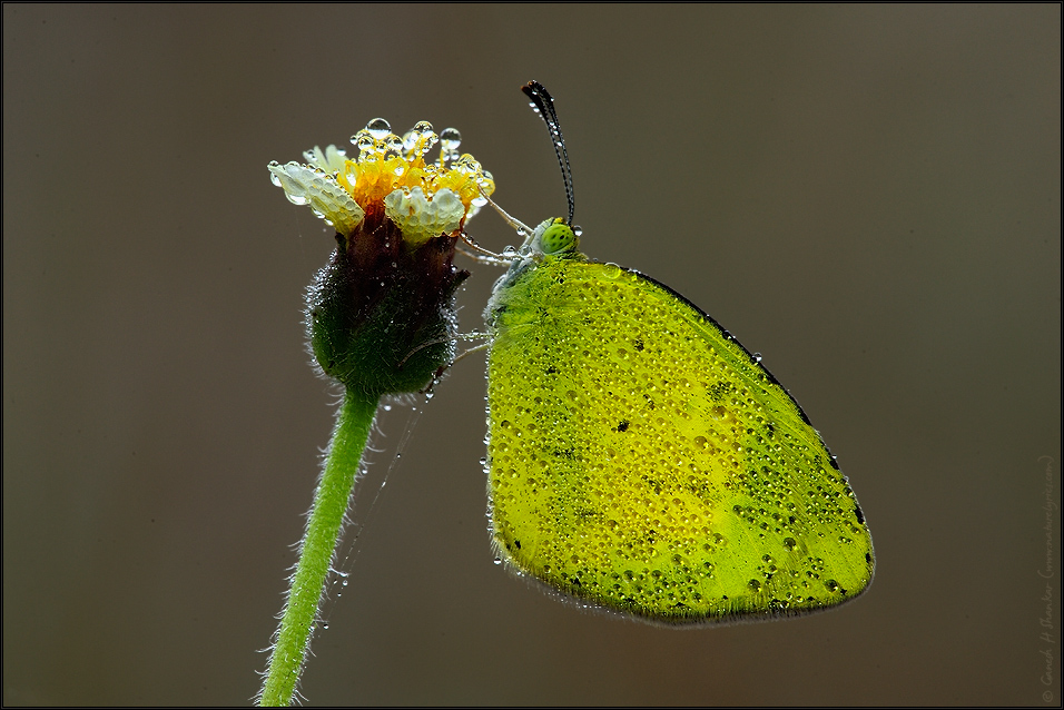 Common Grass Yellow Butterfly | Fine Art | Creative & Artistic Nature Photography | Copyright © 1993-2017 Ganesh H. Shankar