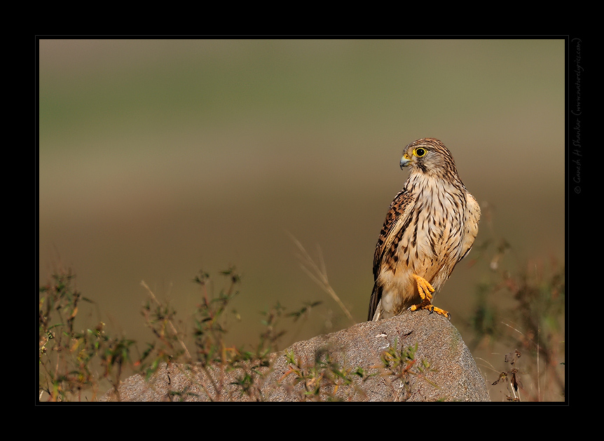 Portrait of a Common Kestrel, TG Halli | Fine Art | Creative & Artistic Nature Photography | Copyright © 1993-2017 Ganesh H. Shankar