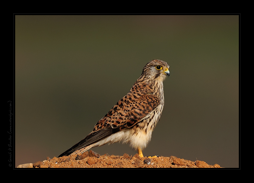 Common Kestrel, TG Halli. | Fine Art | Creative & Artistic Nature Photography | Copyright © 1993-2017 Ganesh H. Shankar