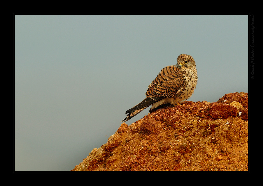 Common Kestrel | Fine Art | Creative & Artistic Nature Photography | Copyright © 1993-2017 Ganesh H. Shankar