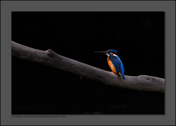 Common Kingfisher | Nature Image | Nature Photography | Photo | Nature Pictures