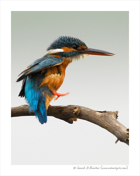Common Kingfisher | Fine Art | Creative & Artistic Nature Photography | Copyright © 1993-2017 Ganesh H. Shankar