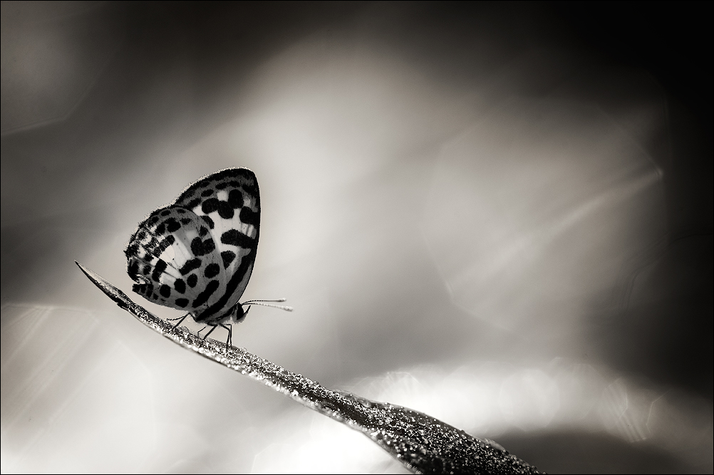 Common Pierrot | Fine Art | Creative & Artistic Nature Photography | Copyright © 1993-2017 Ganesh H. Shankar