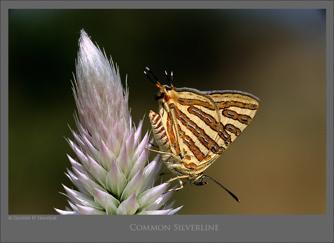 Common Silverline Butterfly | Fine Art | Creative & Artistic Nature Photography | Copyright © 1993-2017 Ganesh H. Shankar