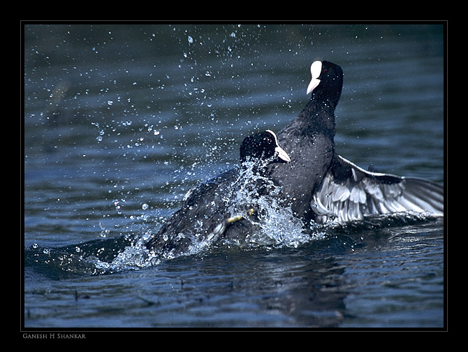 Coots Fight | Fine Art | Creative & Artistic Nature Photography | Copyright © 1993-2017 Ganesh H. Shankar