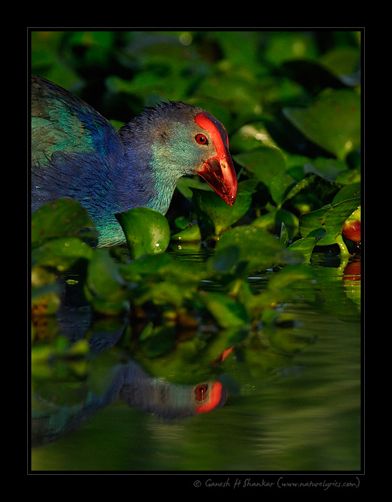 Coot Reflection | Fine Art | Creative & Artistic Nature Photography | Copyright © 1993-2017 Ganesh H. Shankar