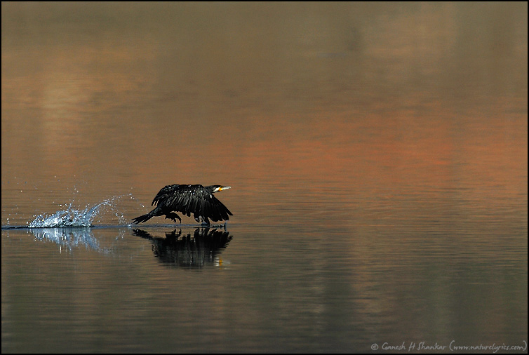 Cormorant Flight | Fine Art | Creative & Artistic Nature Photography | Copyright © 1993-2016 Ganesh H. Shankar