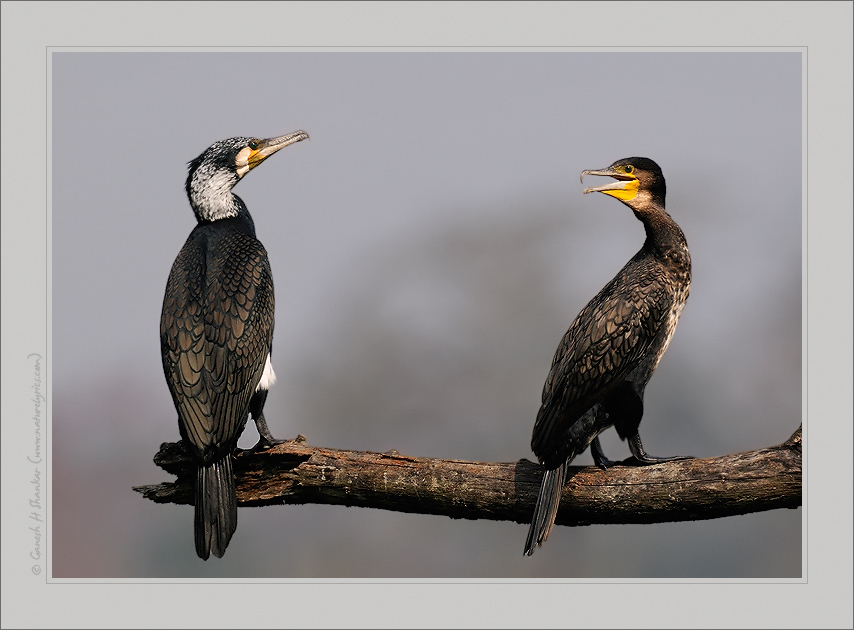 Large Cormorants, Kaziranga National Park, India. | Fine Art | Creative & Artistic Nature Photography | Copyright © 1993-2017 Ganesh H. Shankar