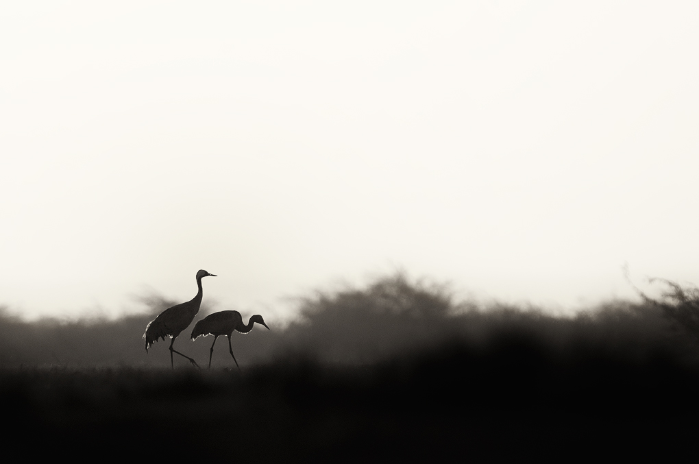 Common Cranes at Sunrise | Fine Art | Creative & Artistic Nature Photography | Copyright © 1993-2017 Ganesh H. Shankar