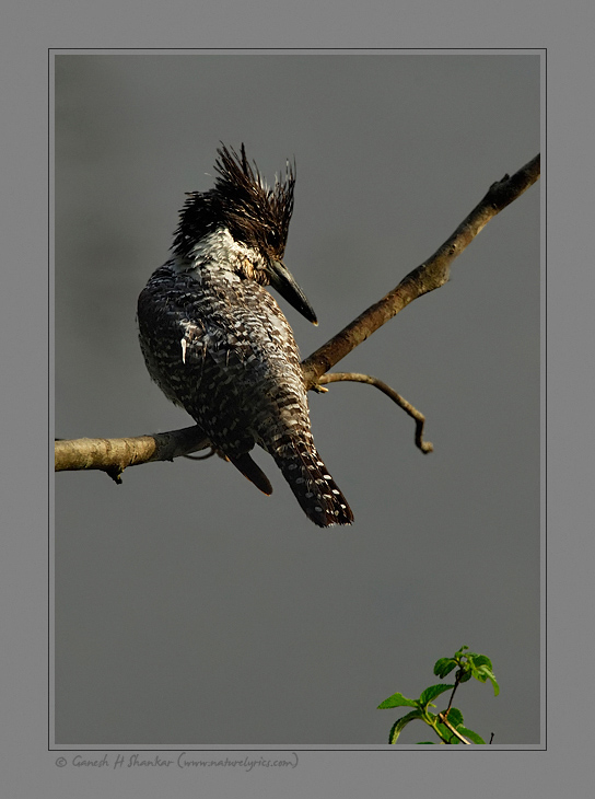 Crested Kingfisher | Fine Art | Creative & Artistic Nature Photography | Copyright © 1993-2017 Ganesh H. Shankar
