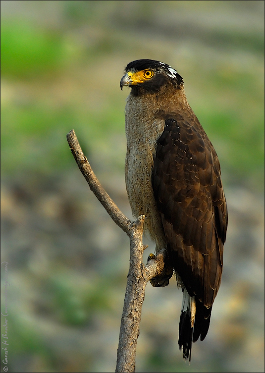 Crested Serpent Eagle | Fine Art | Creative & Artistic Nature Photography | Copyright © 1993-2016 Ganesh H. Shankar