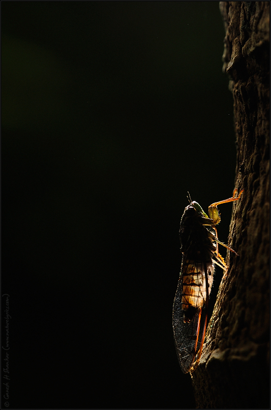 Cicada - Backlit | Fine Art | Creative & Artistic Nature Photography | Copyright © 1993-2017 Ganesh H. Shankar