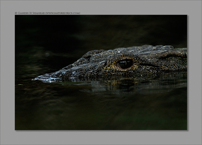Eye of a Crocodile | Fine Art | Creative & Artistic Nature Photography | Copyright © 1993-2017 Ganesh H. Shankar