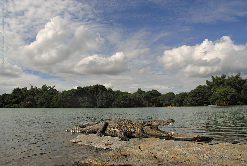 Crocodile in its habitat,  Ranganathittu Bird Sanctuary, India | Fine Art | Creative & Artistic Nature Photography | Copyright © 1993-2017 Ganesh H. Shankar