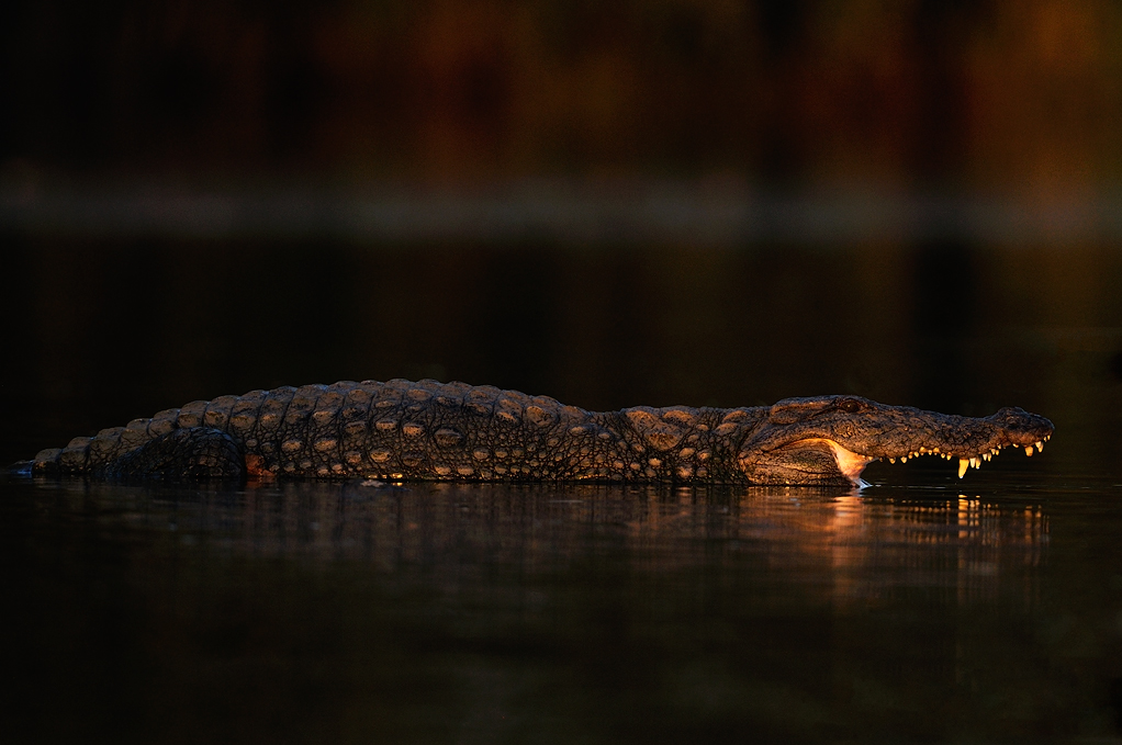 Crocodile in Last light | Fine Art | Creative & Artistic Nature Photography | Copyright © 1993-2017 Ganesh H. Shankar