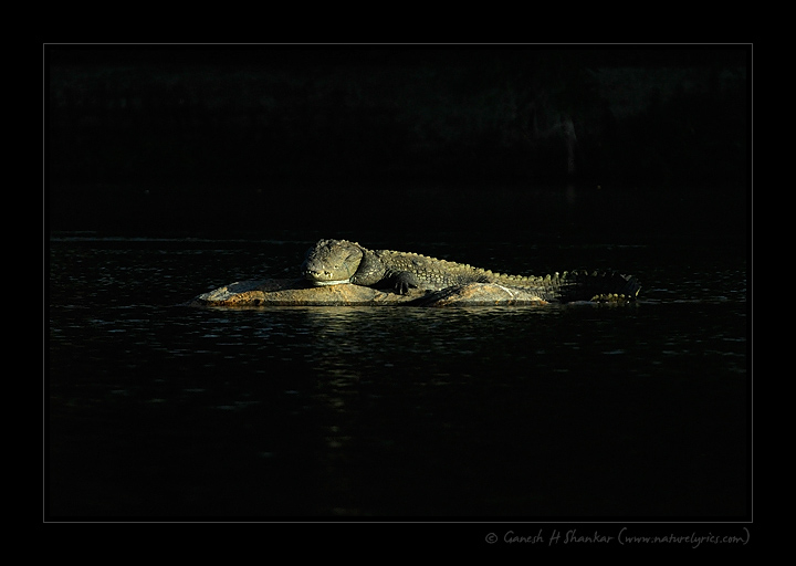 Spotlit Crocodile at Ranganathittu Bird Sanctuary, India | Fine Art | Creative & Artistic Nature Photography | Copyright © 1993-2017 Ganesh H. Shankar