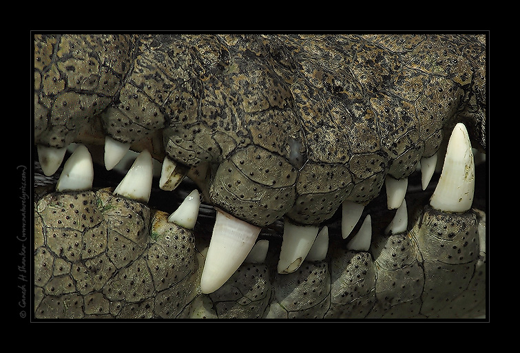 Teeth of a Crocodile | Fine Art | Creative & Artistic Nature Photography | Copyright © 1993-2017 Ganesh H. Shankar