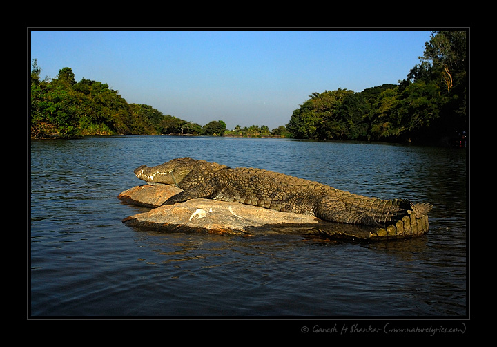 Crocodile in Nature  | Fine Art | Creative & Artistic Nature Photography | Copyright © 1993-2016 Ganesh H. Shankar