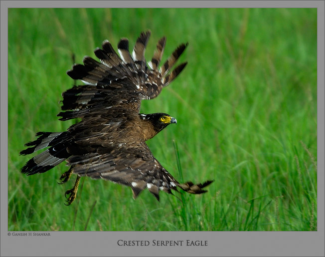 Crested Serpent Eagle | Fine Art | Creative & Artistic Nature Photography | Copyright © 1993-2017 Ganesh H. Shankar