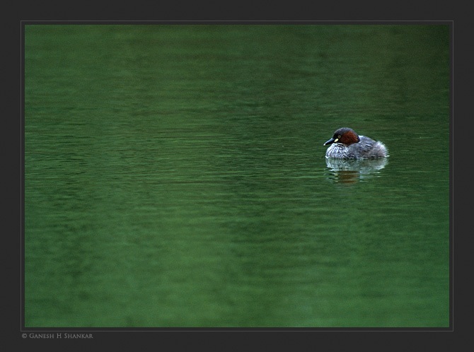 Little Grebe | Fine Art | Creative & Artistic Nature Photography | Copyright © 1993-2016 Ganesh H. Shankar
