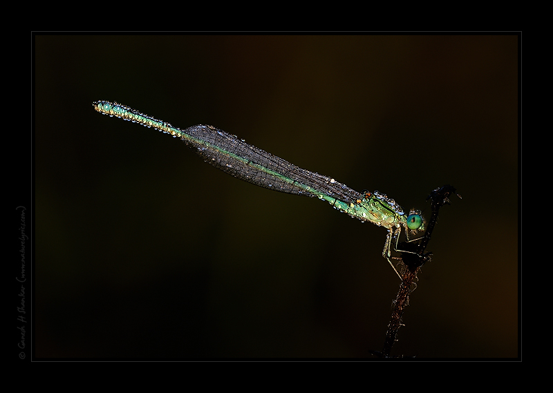 Damselfly in Dews early morning. | Fine Art | Creative & Artistic Nature Photography | Copyright © 1993-2016 Ganesh H. Shankar