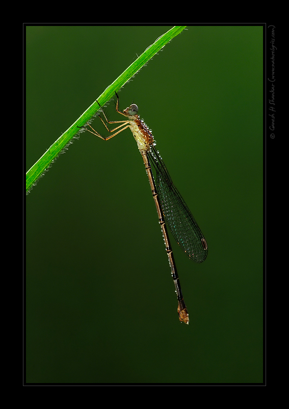 Damselfly and Dews | Fine Art | Creative & Artistic Nature Photography | Copyright © 1993-2016 Ganesh H. Shankar