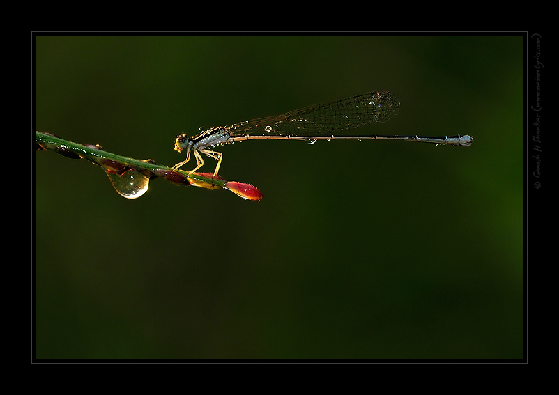 Damselfly | Fine Art | Creative & Artistic Nature Photography | Copyright © 1993-2017 Ganesh H. Shankar