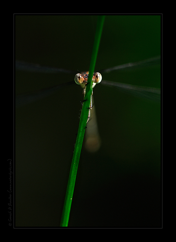 Eyes - Damselfly | Fine Art | Creative & Artistic Nature Photography | Copyright © 1993-2017 Ganesh H. Shankar