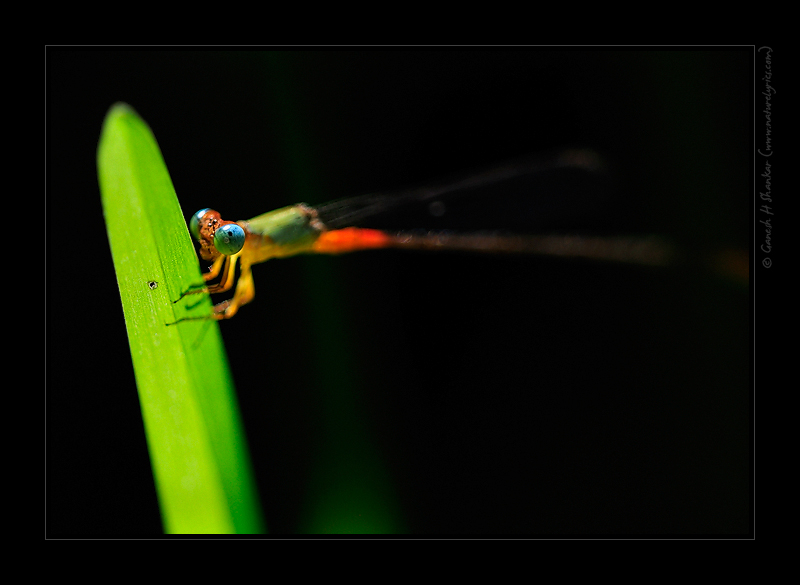 A Colorful damselfly - a perspective | Fine Art | Creative & Artistic Nature Photography | Copyright © 1993-2017 Ganesh H. Shankar