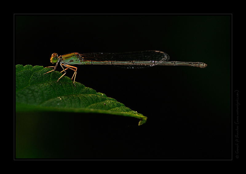 A Damselfly - Spot Lit | Fine Art | Creative & Artistic Nature Photography | Copyright © 1993-2017 Ganesh H. Shankar