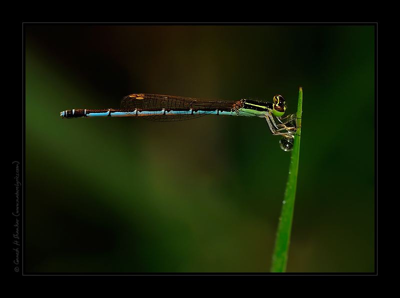 A damselfly | Fine Art | Creative & Artistic Nature Photography | Copyright © 1993-2017 Ganesh H. Shankar