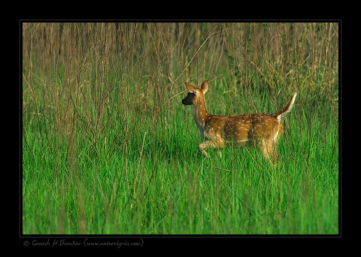 Alerted Deer, Corbet National Park, India. | Fine Art | Creative & Artistic Nature Photography | Copyright © 1993-2017 Ganesh H. Shankar