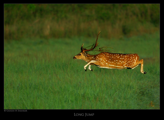 Long Jump of a Deer | Fine Art | Creative & Artistic Nature Photography | Copyright © 1993-2016 Ganesh H. Shankar