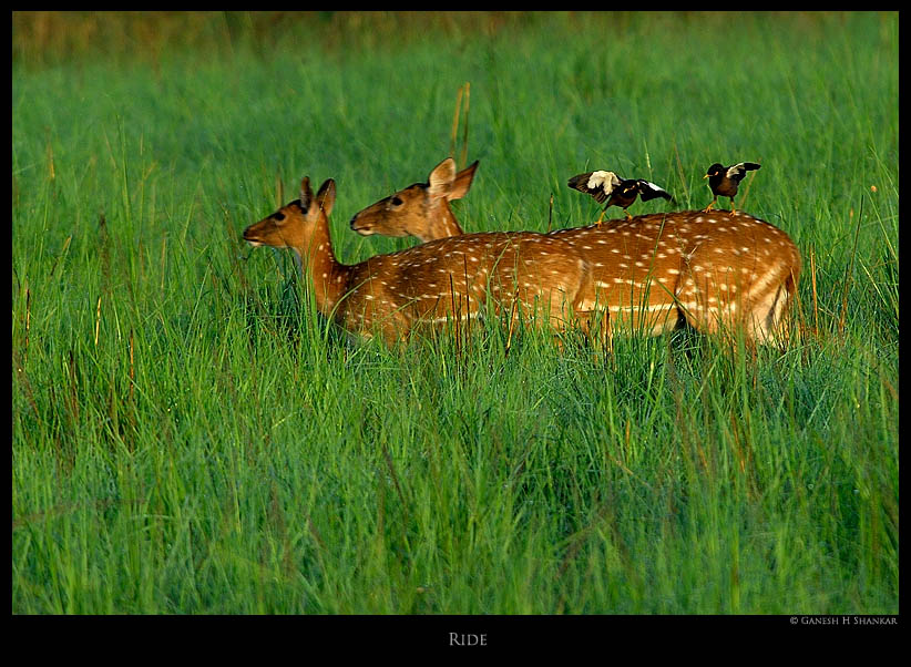 Deers and Mynas - free ride | Fine Art | Creative & Artistic Nature Photography | Copyright © 1993-2017 Ganesh H. Shankar