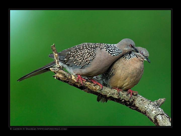 Spotted Doves | Fine Art | Creative & Artistic Nature Photography | Copyright © 1993-2017 Ganesh H. Shankar