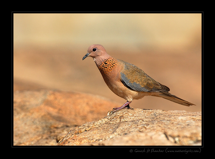 Spotted Dove | Fine Art | Creative & Artistic Nature Photography | Copyright © 1993-2017 Ganesh H. Shankar
