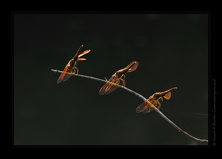Dragon Flies in backlight. | Fine Art | Creative & Artistic Nature Photography | Copyright © 1993-2017 Ganesh H. Shankar