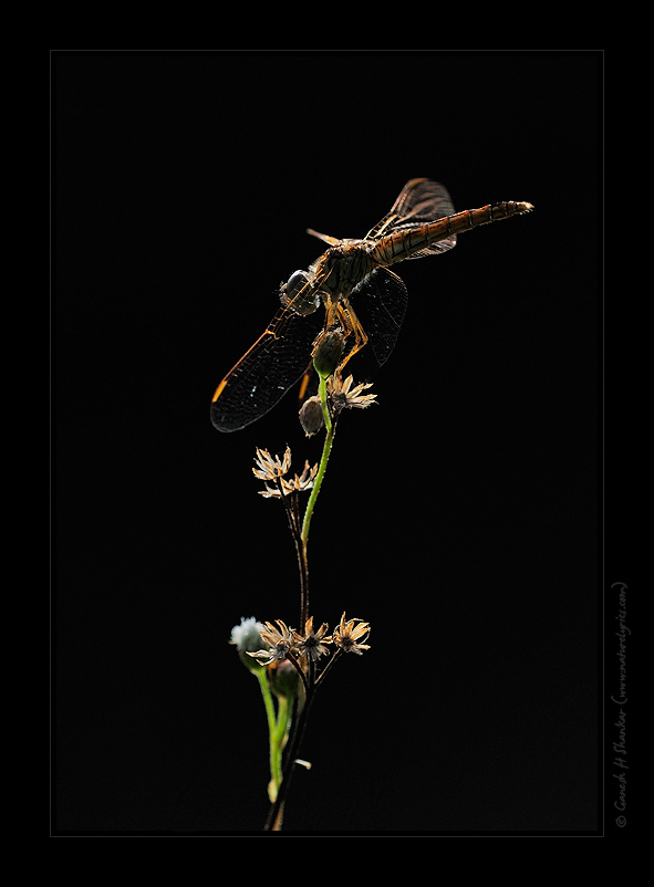 Backlit Dragonfly, TG Halli near Bangalore. | Fine Art | Creative & Artistic Nature Photography | Copyright © 1993-2017 Ganesh H. Shankar