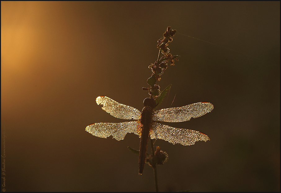 Dragonfly and Golden Sunrise | Fine Art | Creative & Artistic Nature Photography | Copyright © 1993-2017 Ganesh H. Shankar
