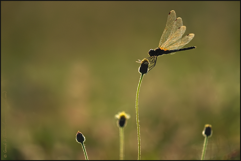 Dragonfly and Flowers | Fine Art | Creative & Artistic Nature Photography | Copyright © 1993-2017 Ganesh H. Shankar