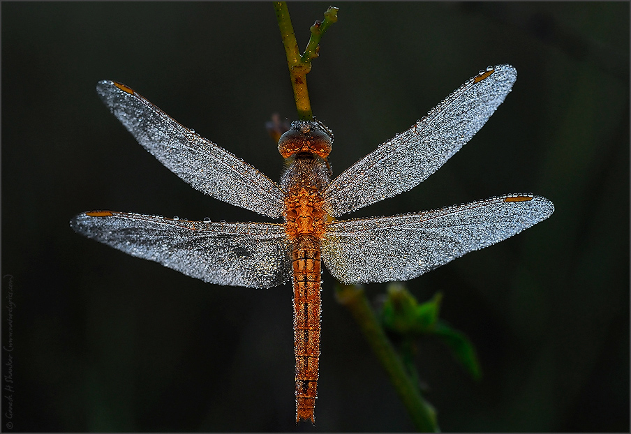 Dragonfly in dews, TG Halli | Fine Art | Creative & Artistic Nature Photography | Copyright © 1993-2017 Ganesh H. Shankar