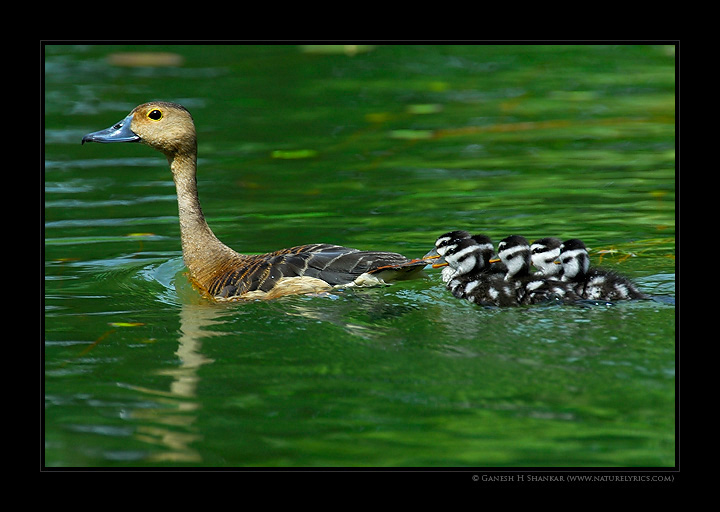 Ducks | Fine Art | Creative & Artistic Nature Photography | Copyright © 1993-2017 Ganesh H. Shankar