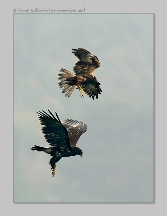 Spotted Eagle and Marsh Harrier Fight | Fine Art | Creative & Artistic Nature Photography | Copyright © 1993-2017 Ganesh H. Shankar