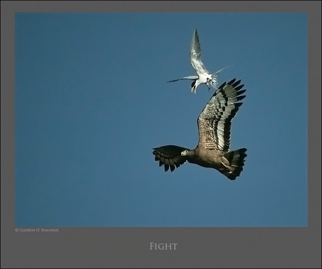 Crested Serpent Eagle and River Tern  | Fine Art | Creative & Artistic Nature Photography | Copyright © 1993-2017 Ganesh H. Shankar